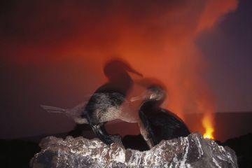 Flightless Cormorant (Phalacrocorax harrisi) nesting colony unconcerned about volcanic eruption, Cape Hammond, Fernandina Island, Galapagos Islands, Ecuador