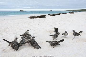 Hood Mockingbird (Nesomimus macdonaldi) family in territorial confrontation called a 'flick fight', Gardner Bay, Espanola Island, Ecuador