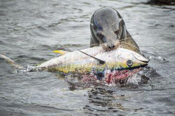 Galapagos sealion feeding on tuna
