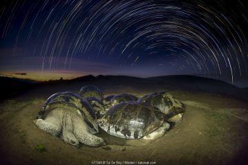 Volcan Alcedo Giant Tortoise (Chelonoidis nigra vandenburghi) group wallowing in mud at night, Alcedo Volcano, Isabela Island, Galapagos Islands, Ecuador