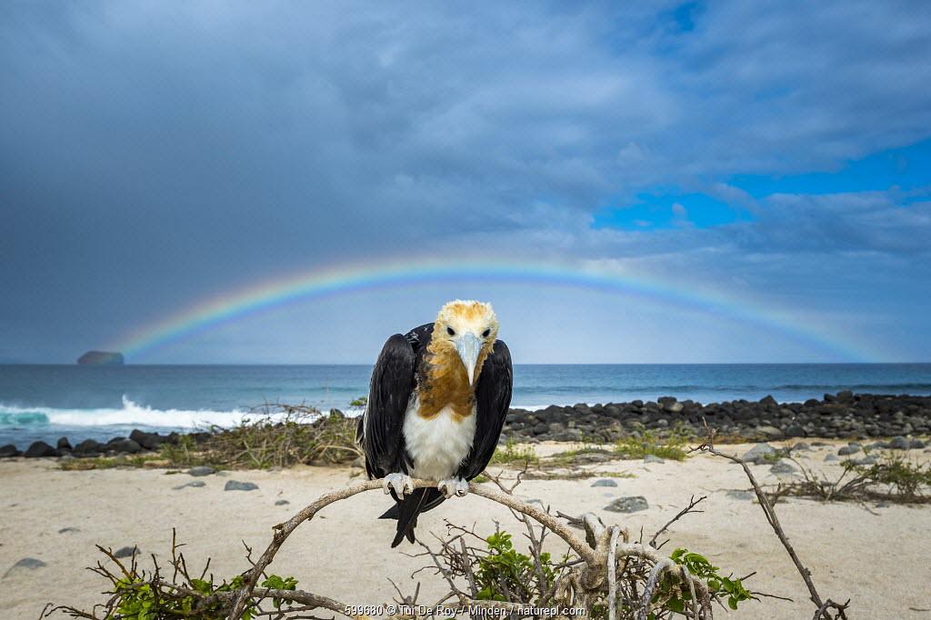Great Frigatebird (Fregata minor) juvenile and rainbow, Seymour Island, Galapagos Islands, Ecuador