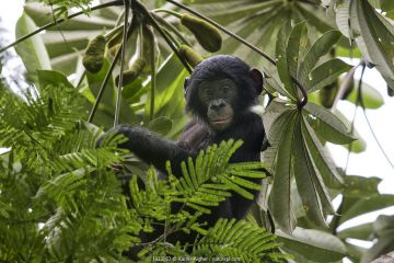 Bonobo (Pan paniscus) baby in tree, Democratic Republic of Congo