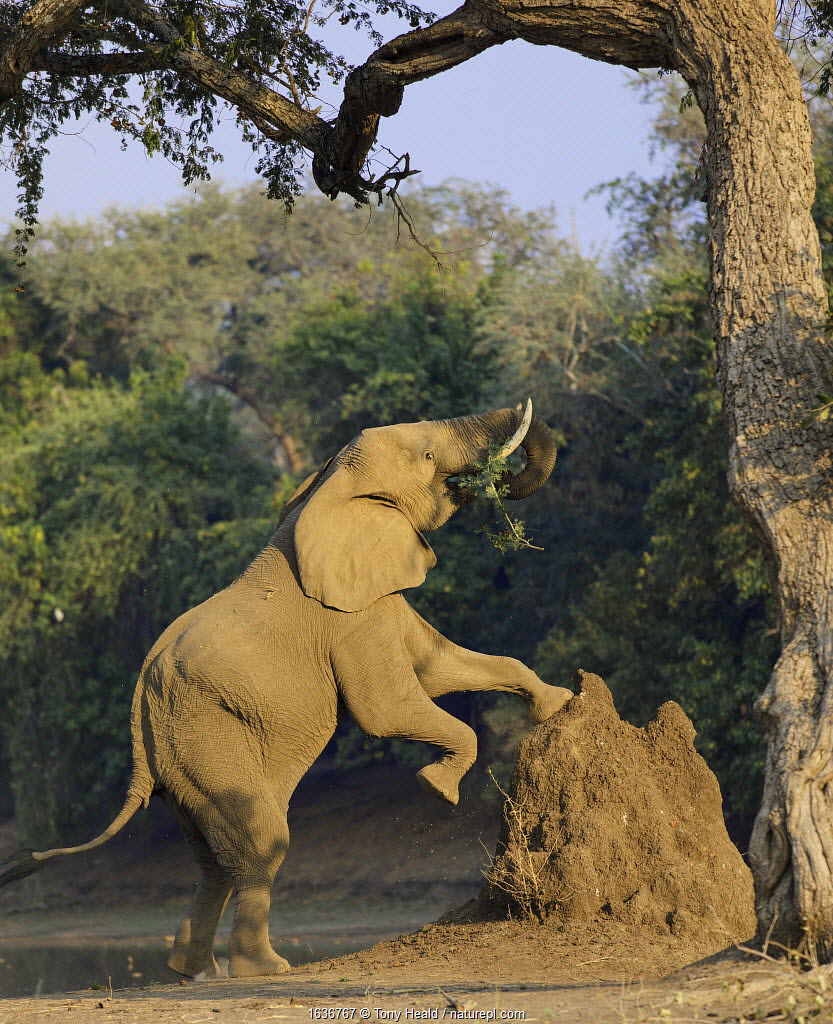 African elephant (Loxodonta africana) using termite mound to reach for food, Mana Pools National Park, Zimbabwe