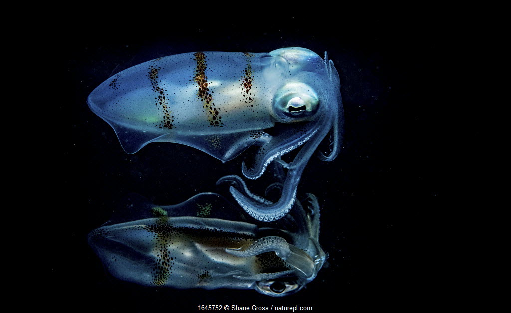 Caribbean reef squid (Sepioteuthis sepioidea) portrait reflecting off the surface of the ocean at night, Eleuthera, Bahamas.