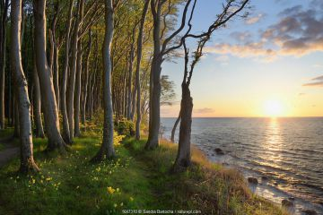 European beech (Fagus sylvatica), Baltic Sea, Maerchenwald, Wittow, Ruegen, Germany