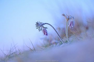 Small pasqueflower / Pasque flower (Pulsatilla pratensis) at the beach, Prora, Ruegen, Germany, May.