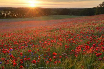 Field of poppies (Papaver rhoeas) and Cornflowers (Centaurea cyanus) Nonnenmuehle, Germany, June.