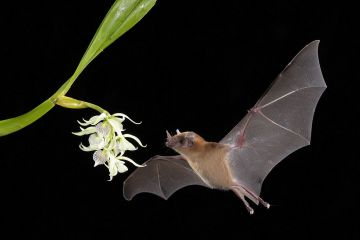 Orange nectar bat (Lonchophylla robusta) feeding on Little clamshell orchid (Prosthechea cochleata), lowland rainforest, Costa Rica. November.