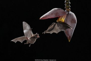 Pallas's long-tongued bats (Glossophaga soricina) feeding from banana flower, lowland rainforest, Costa Rica. November.