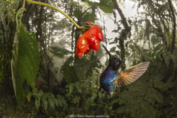 Velvet-purple coronet hummingbird (Boissonneaua jardini) visits a flower in cloud forest, Choco region, Northwestern Ecuador.