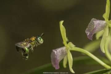 Orchid bee (Euglossa sp.) visits an orchid in cloud forest, Choco region, Northwestern Ecuador.