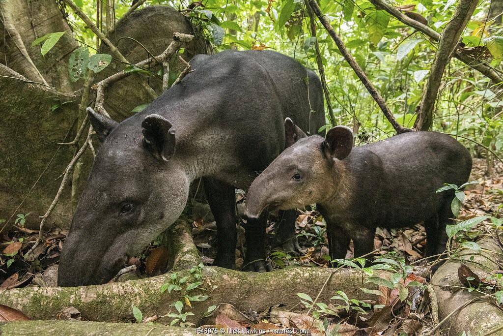 Baird's tapir female (Tapirus bairdii) with calf, rainforest, Corcovado National Park, Costa Rica. Endangered.
