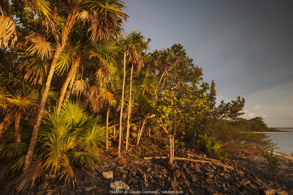 Thatch palm (Thrinax radiata), Guanahacabibes Peninsula National Park, Pinar del Rio Province, western Cuba.