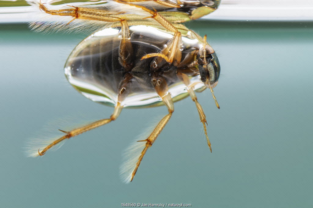 Crawling water beetle (Berosus signaticollis), Europe, May, controlled conditions