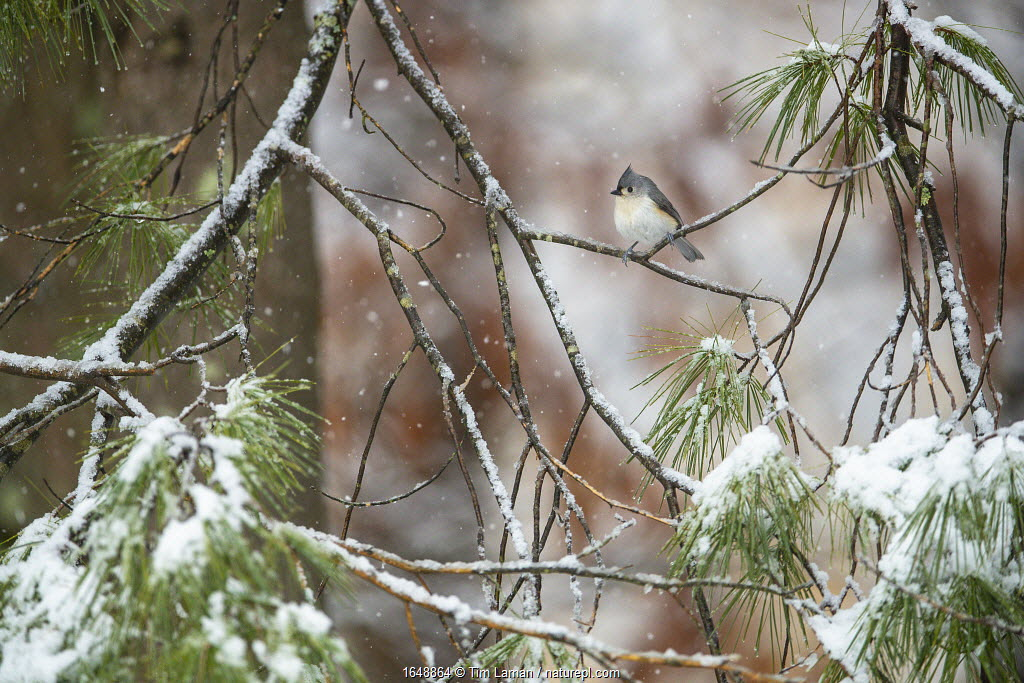 Tufted titmouse (Baeolophus bicolor) perched on pine boughs during spring snowfall. Massachusetts, USA. April.