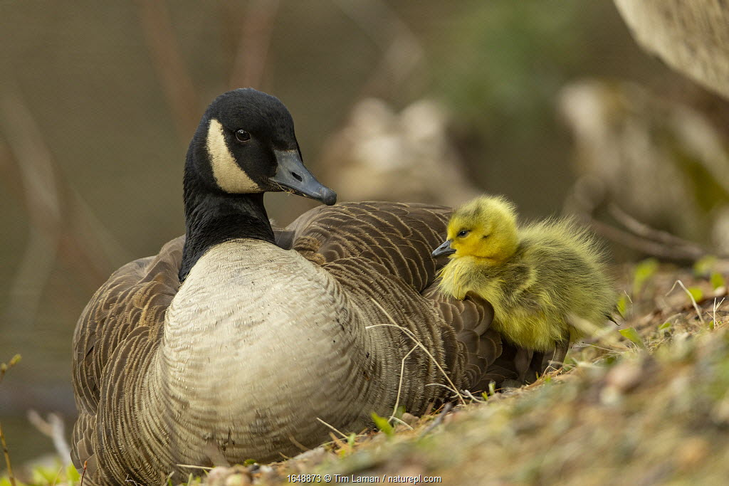 Canada goose (Branta canadensis) with gosling, a few days old. Massachusetts, USA. April.