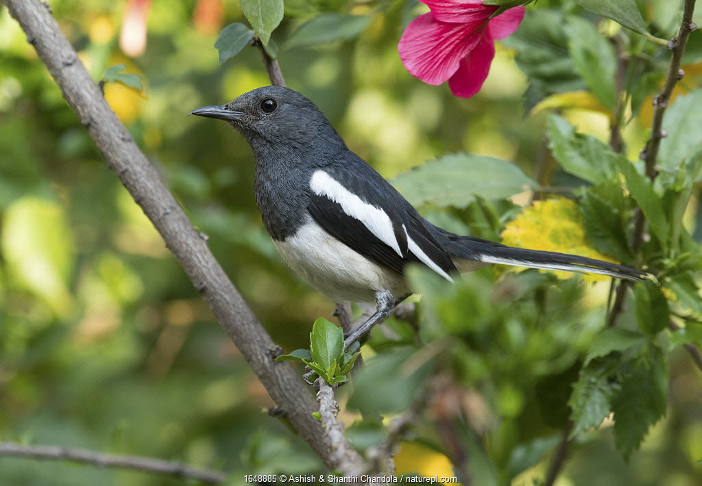Oriental Magpie Robin (Copsychus saularis) female, Whitefield, Bangalore, India, March.