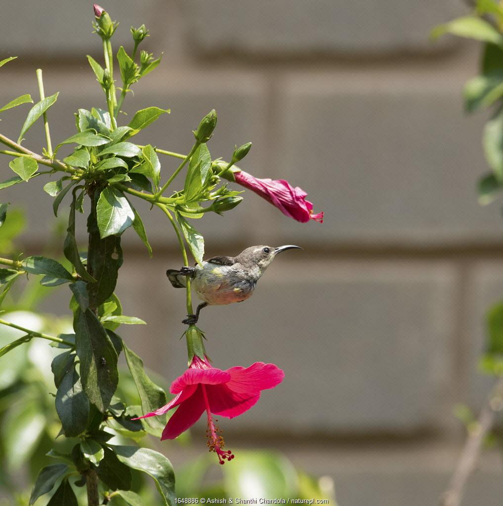 Purple Sunbird (Nectarinia asiatica ), female - Whitefield, Bangalore, April.