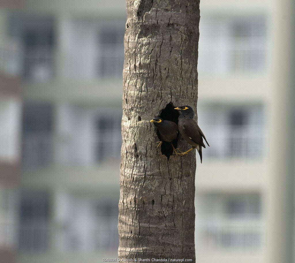 Common Myna ( Acridotheres tristis) nesting in tree outside high rise buildings. Whitefield, Bangalore, April 2020
