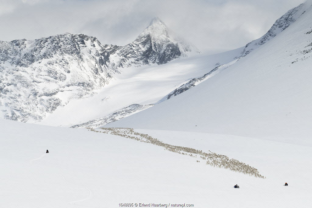 Reindeer herders moving a large flock of semi-domesticated Reindeer (Rangifer tarandus) with the help of snowmobiles, to the reindeer calving areas in the Jotunheimen National Park, Norway. Mt Semmelholstind can be seen in the background. April 2020.