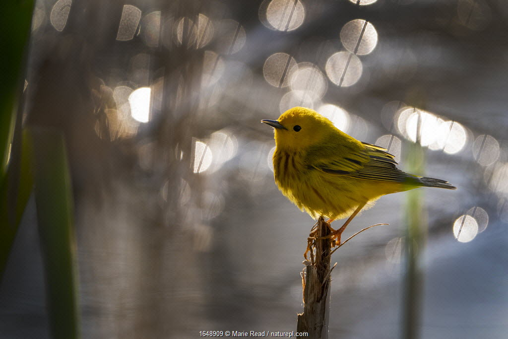 Yellow Warbler (Setophaga petechia, formerly Dendroica petechia), male in breeding plumage, Ithaca, New York, USA. May 2020.