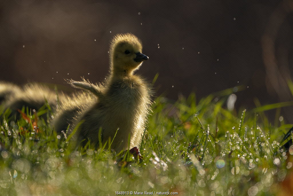 Canada Goose (Branta canadensis) gosling flapping its 'wings', Ithaca, New York, USA. April 2020.