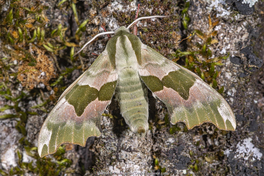 Lime hawk moth ( Mimas tiliae) portrait, Podere Montecucco, Orvieto, Umbria, Italy.