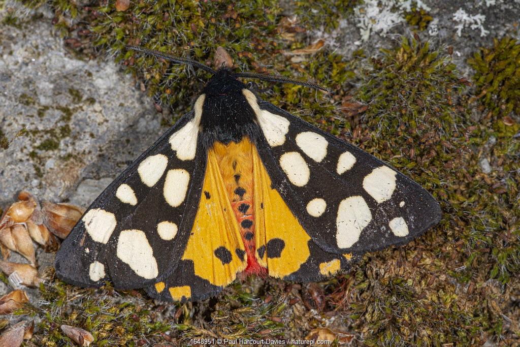 Cream-spot tiger (Arctia villica) Podere Montecucco, Orvieto, Umbria, Italy.