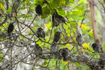 Darwin's medium ground finch (Geospiza fortis) mixed flock sheltering from the rain in photographer Tui De Roy's garden, Santa Cruz Island, Galapagos Islands