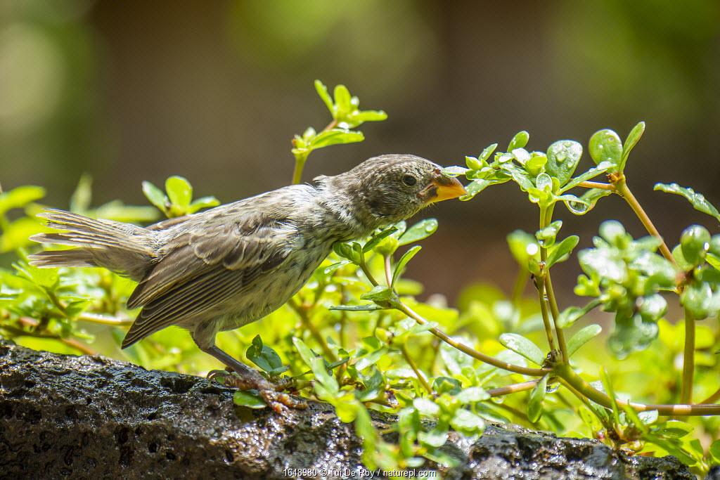 Darwin's medium ground finch (Geospiza fortis) drinking raindrops from foliage in Tui De Roy's garden, Santa Cruz Island, Galapagos Islands