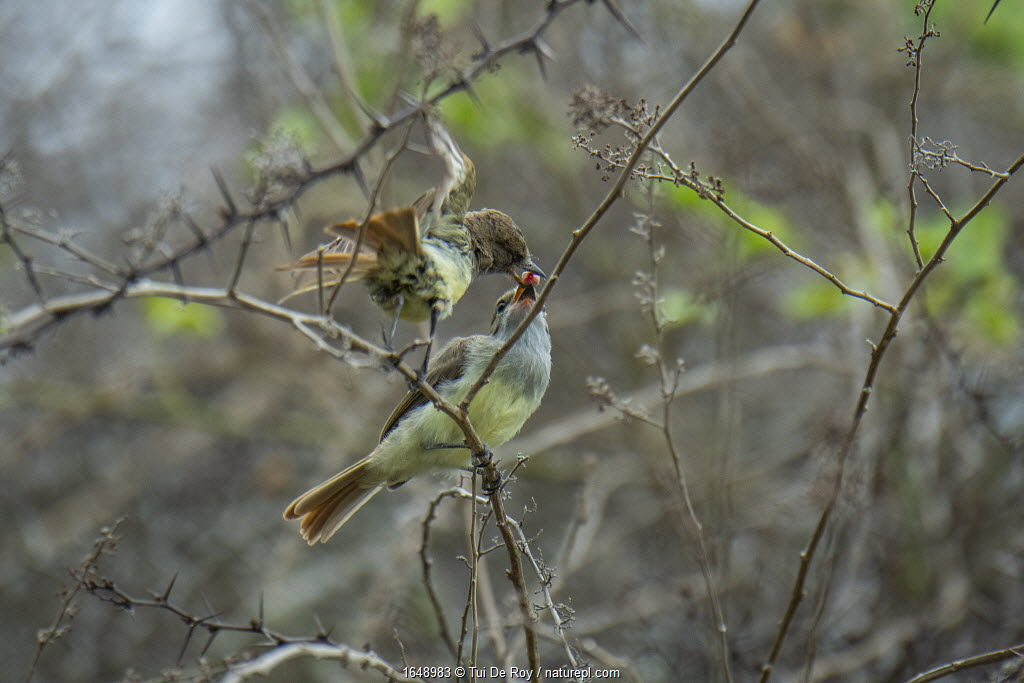Galapagos flycatcher (Myiarchus magnirostris) parent feeding wild berry to fledgling in photographer Tui De Roy's garden, Santa Cruz Island, Galapagos Islands