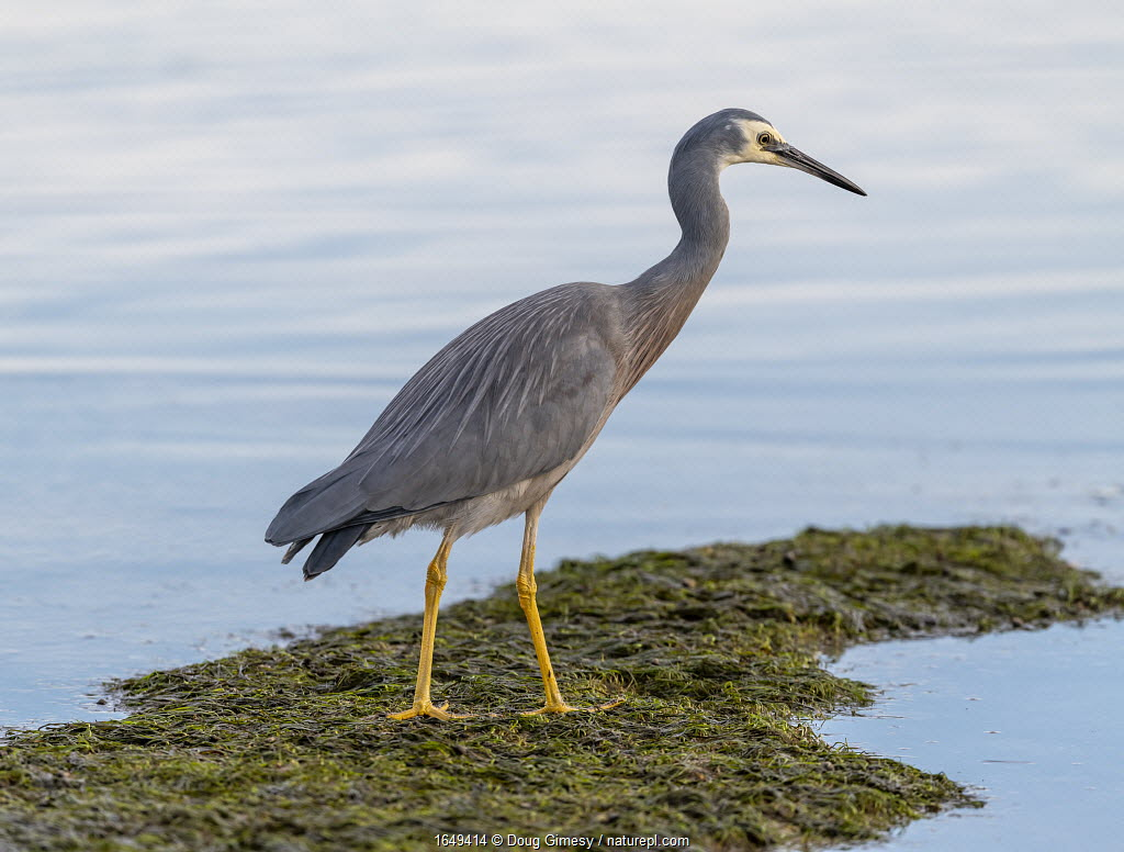 White-faced heron (Egretta novaehollandiae) standing on seaweed in the intertidal zone (shoreline) of Port Philip Bay. Ricketts Point, Beaumaris, Victoria, Australia, May.