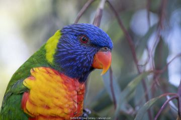 Head close up of a Rainbow lorikeet (Trichoglossus moluccanus) sitting on a eucalyptus tree, ?Gardenvale, Victoria, Australia.
