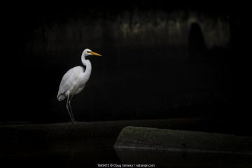 Eastern great egret (Ardea modesta) standing under a bridge in a canal looking for fish that may have come upstream during the tide. Elwood canal, Elwood, Victoria, Australia. May.