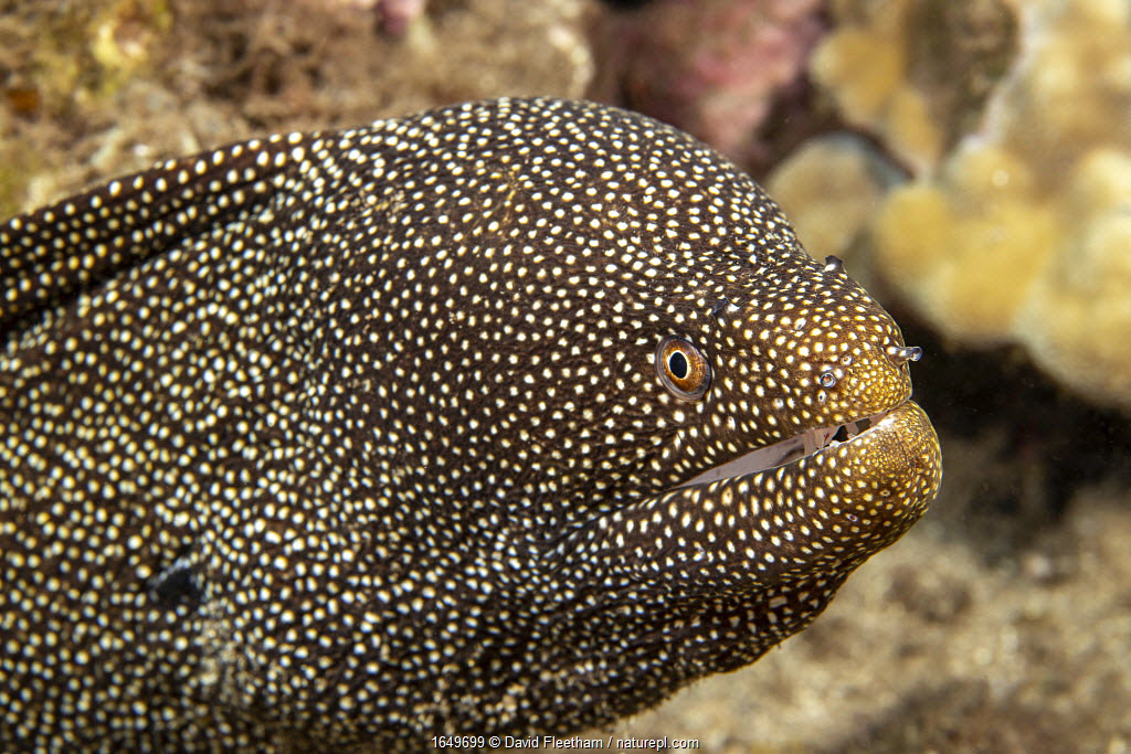 Whitemouth moray eel (Gymnothorax meleagris), Hawaii