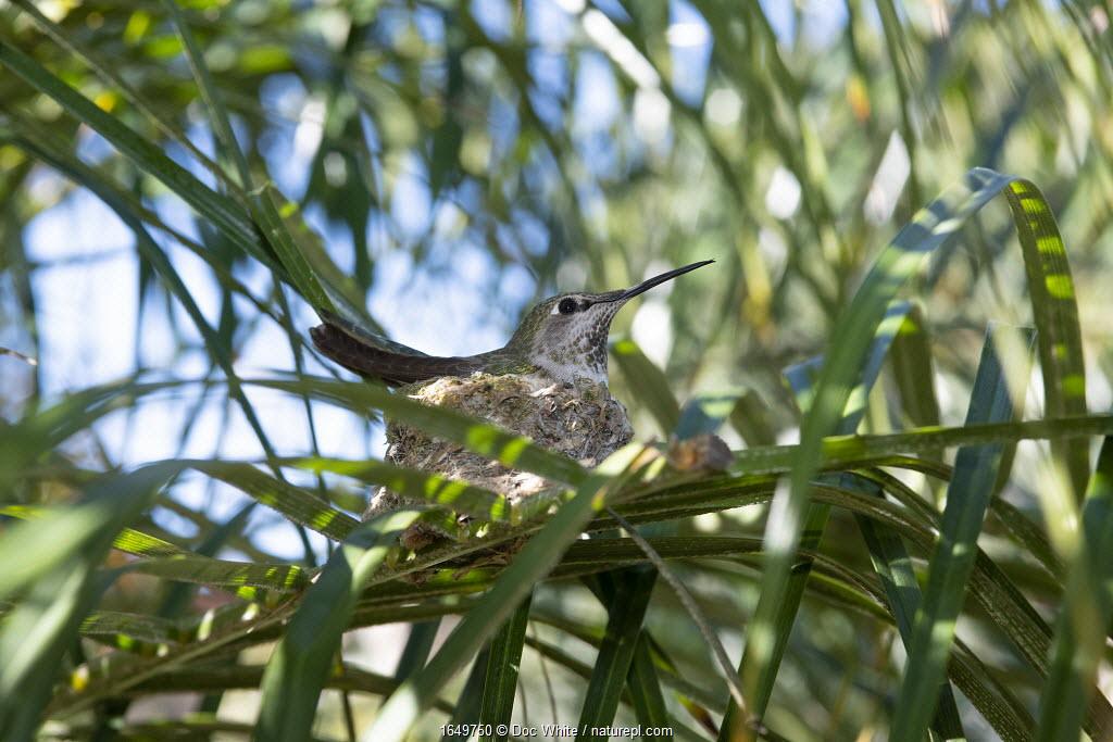 Anna's hummingbird (Calypte anna), female sitting on nest, Southern California, USA