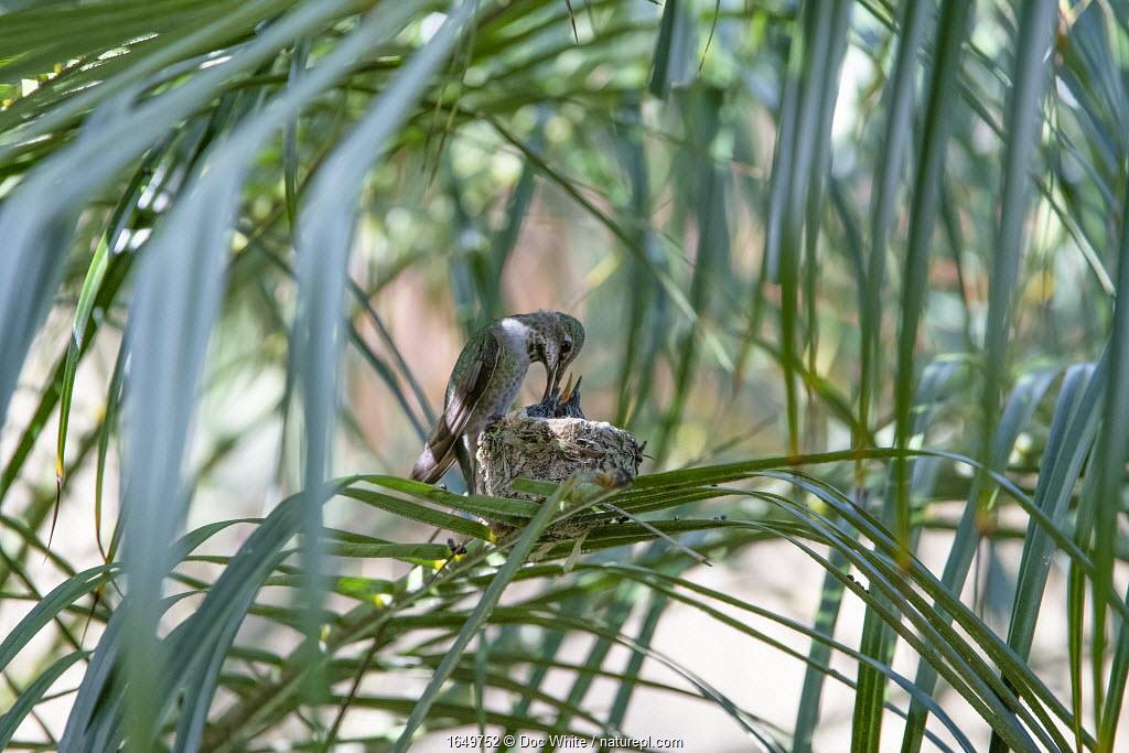 Anna's hummingbird (Calypte anna) mother feeding chicks, Southern California, USA