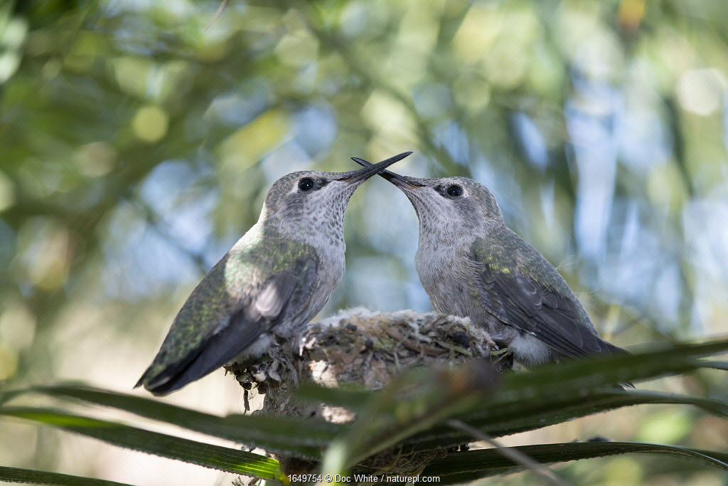 Anna's hummingbird (Calypte anna) young, perched at the edge of nest, Southern California, USA