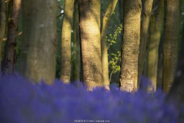 Bluebells (Hyacinthoides non-scripta) in woodland copse, Wiltshire, UK, April