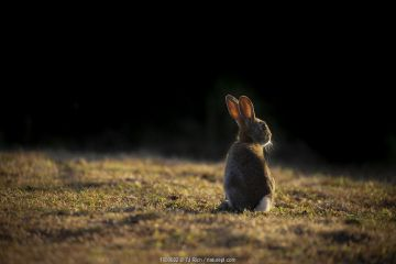 Rabbit (Oryctolagus cunniculus) juvenile at sunset, Wiltshire, UK. May.