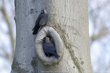 Two Eurasian jackdaws (Corvus monedula) perched on tree, Peerdsbos, Braschaat, Belgium