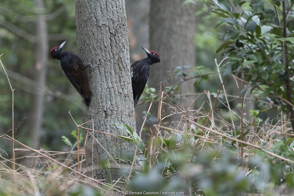 Two Black woodpeckers (Dryocopus martius) males on tree trunk in territorial dispute, Peerdsbos, Braschaat, Belgium. April