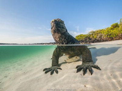 Marine iguana (Amblyrhynchus cristatus) split level view on the coast, Tortuga Bay, Santa Cruz Island, Galapagos.