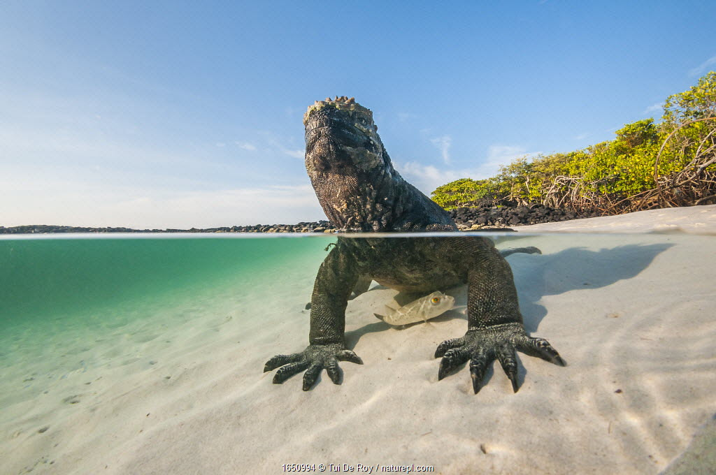 Marine iguana (Amblyrhynchus cristatus) split level view on the coast, Tortuga Bay, Santa Cruz Island, Galapagos.