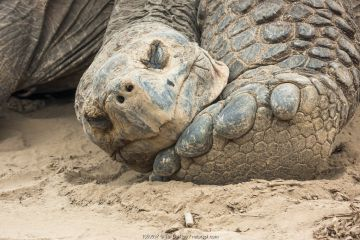 Alcedo giant tortoise (Chelonoidis vandenburghi), Alcedo Volcano, Isabela Island, Galapagos