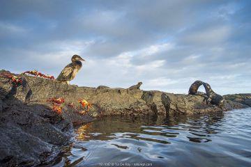 Wildlife on the coast of Cape Hammond including Galapagos flightless cormorant (Phalacrocorax harrisi), Sally lightfoot crab (Grapsus grapsus) and Marine iguana (Amblyrhynchus cristatus) Cape Hammond, Fernandina Island, Galapagos.