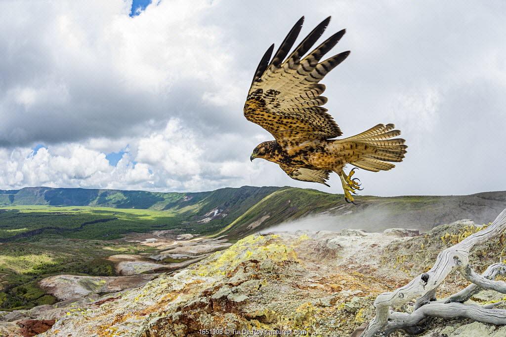 Galapagos hawk (Buteo galapagoensis) in flight, Alcedo Volcano, Isabela Island, Galapagos.