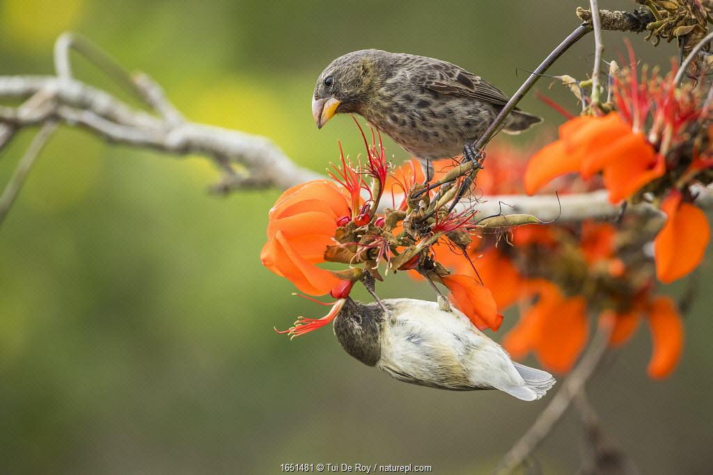 Small tree finch (Camarhynchus parvulus) hanging upside down and feeding from flower, Academy Bay, Santa Cruz Island, Galapagos.