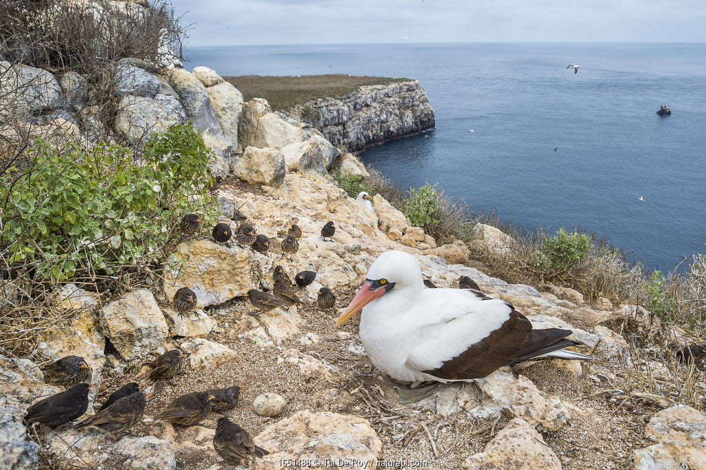 Nazca booby (Sula granti) on coast, with Vampire ground finches (Geospiza septentrionalis). These finches peck at birds, feeding on blood when other food sources are scarce, Wolf sland, Galapagos.