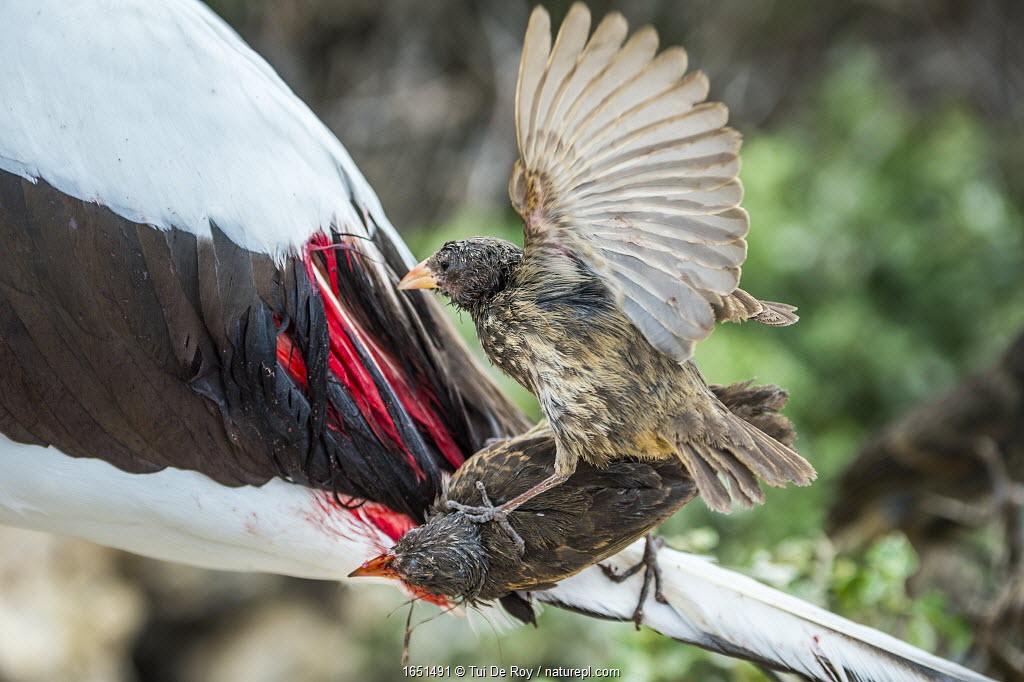 Vampire ground finch (Geospiza septentrionalis) feeding on Nazca booby (Sula granti) blood. Wolf Island, Galapagos.